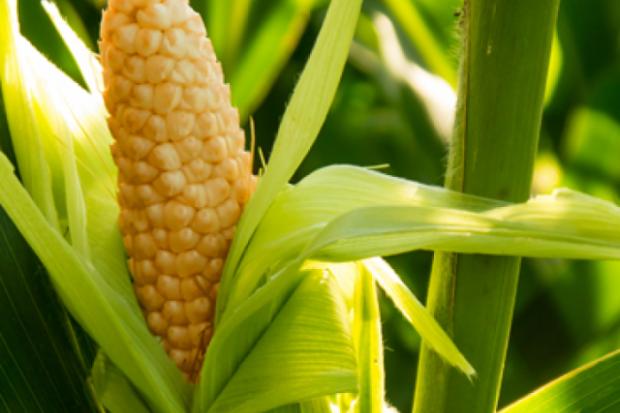 Եգիպտացորեն. գլյուտեն չպարունակող բանջարեղեն